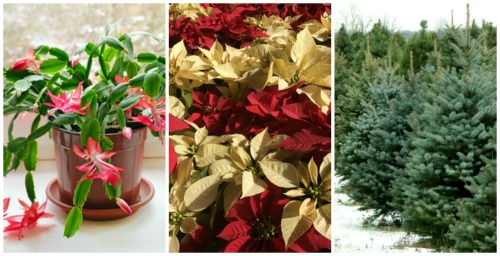 Holiday plants garden-fountains